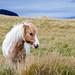 Iceland horse in a field by wuestenigel