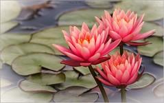 Les Jardins des Lotus