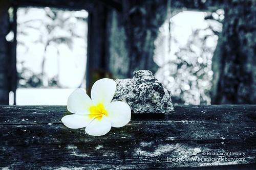White frangipani flower on old window sill of derelict home on Niue. #abandoned #abandonedworld #abandonedplaces #flowers #frangipani #whiteflowers #niue #niueimage #niuephoto #niuetravel #monochromatic #monochrome #monochromephoto #monochromeimages #sony
