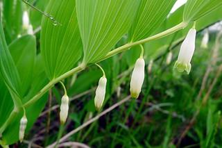 Polygonatum odoratum (Convallariaceae)