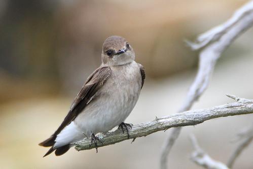 northern roughwinged swallow northernroughwingedswallow mckenziemarsh