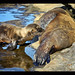 Feeding time reflections for a California Sea Lion Pup