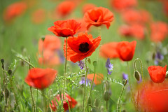 Rouge coquelicot - Photo of Bissert