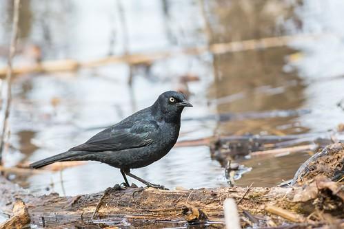 Quiscale Rouilleux / Rusty Blackbird