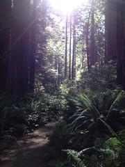 Redwood National Park. Young coastal redwoods