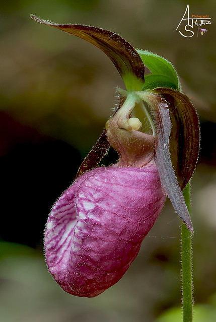 pink lady slipper, cypripedium acaule