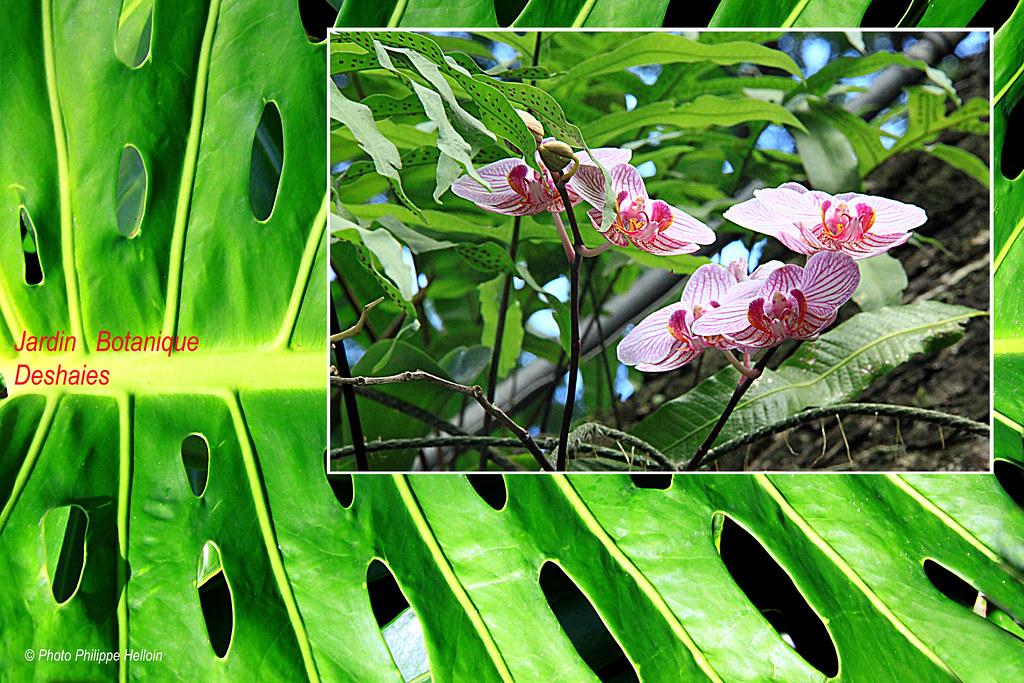 Orchidée au Jardin botanique Deshaies©AR plan Philodendron…   Flickr