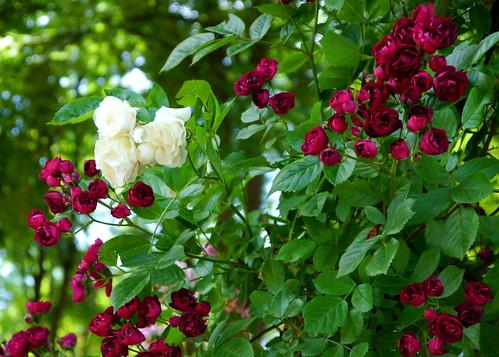 Schneeweißchen & Rosenrot / Snow White & Rose Red