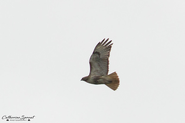 Hawk02-2017