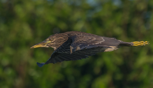 Juvy black crown night heron