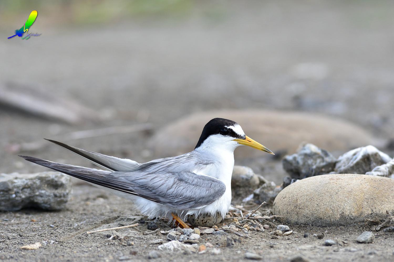 Little_Tern_4300