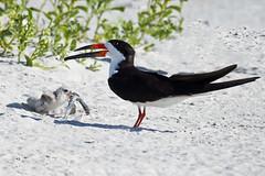 Black Skimmer & Chick with Needlfish