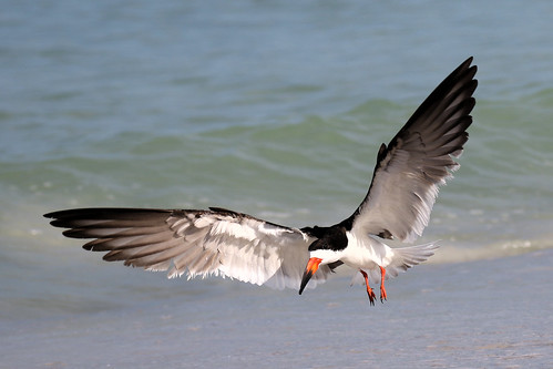 black skimmer landing stpete beach bird shore wildlife nature