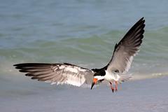 Black Skimmer Landing