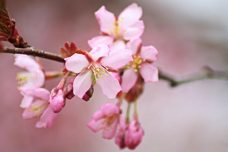 kirsikka2