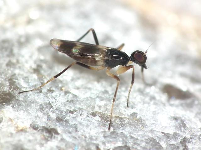 Tachydromia sp. (female), Fujifilm FinePix HS10 HS11