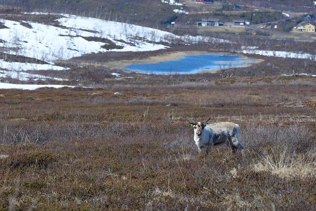 Reindeer, Nikon D610, AF-S Nikkor 300mm f/4E PF ED VR
