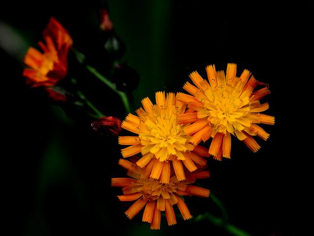 Orange Hawkweed - fox, Nikon D5200, Sigma Macro 105mm F2.8 EX DG OS HSM