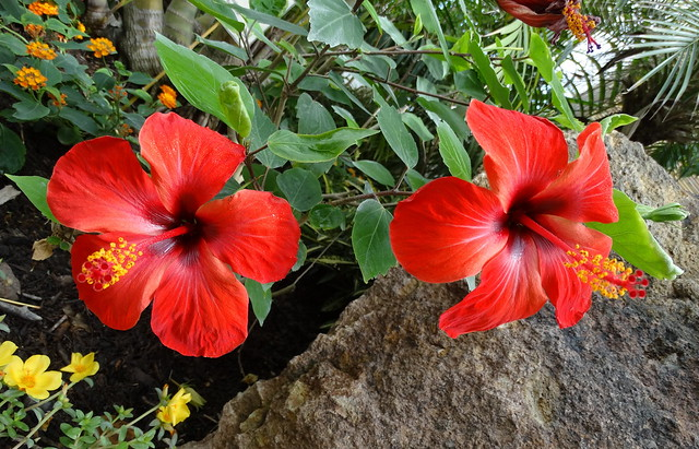 I fiori del karkadè