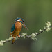 Female Kingfisher ( Alcedo atthis ) by Steven Whitehead