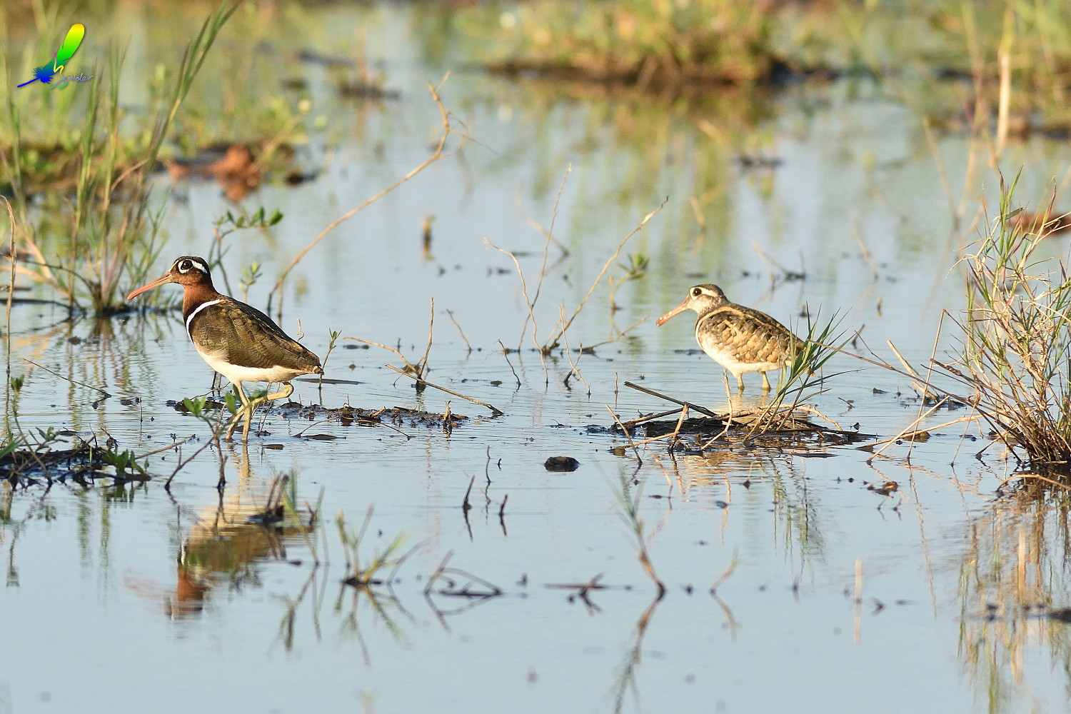 Painted_Snipe_0275