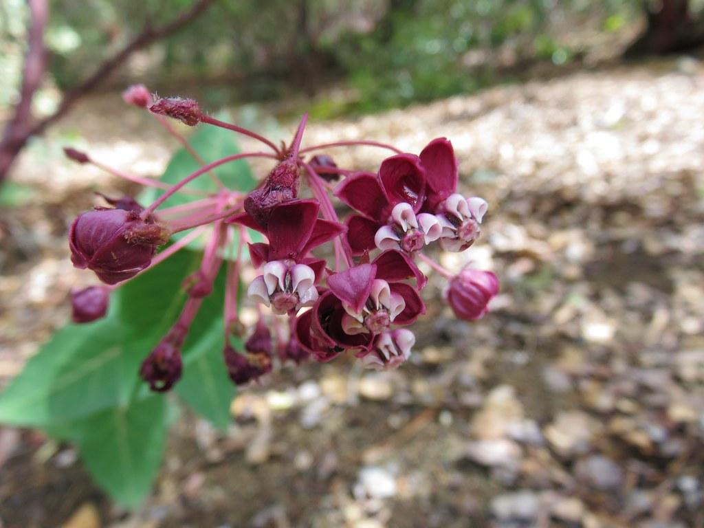 Heart-leafed milkweed
