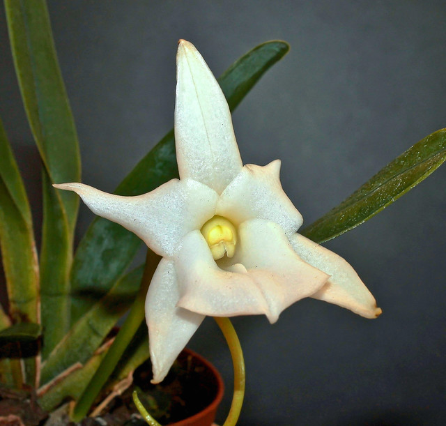 Angraecum magdalenae 2013-109; Orchidaceae (1)