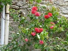 Rue du Trop Chaud, Flavigny-sur-Ozerain - red flowers - Photo of Gissey-sous-Flavigny
