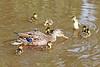 Mallard Hen And Ducklings 17-0604-6703 by digitalmarbles
