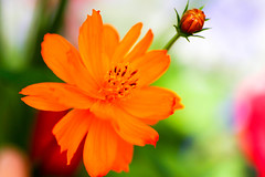 close up orange flower with a green background