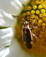 Mirid Bug (Capsodes flavomarginatus)