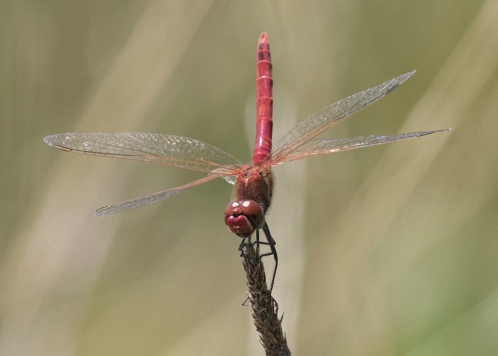 Scarlet Darter   Crocothemis erythraea