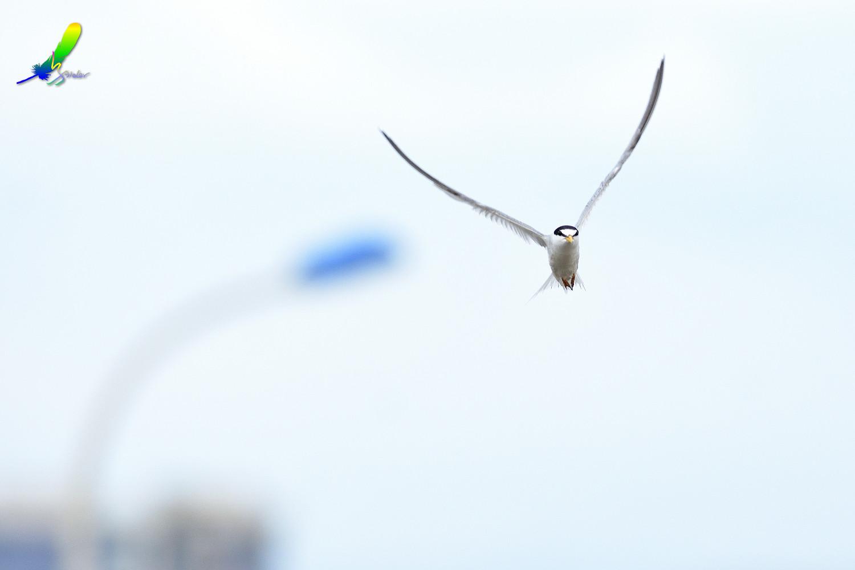 Little_Tern_4907