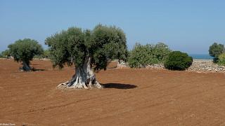 Olive trees on the seaside