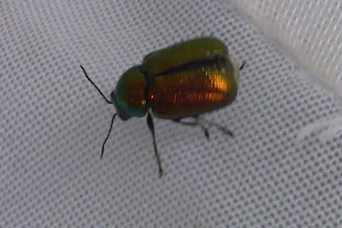 Welcher Käfer ist das? , NGID184292905