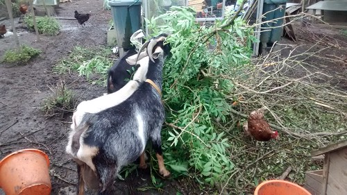 goats eating ash July 17 4