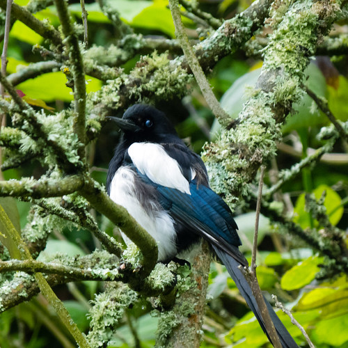 Magpie on the q.v., Morrab Garden, Penzance