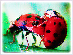 Harmonia axyridis (Asian Lady Beetle, Harlequin, Multicoloured Asian Beetle) mating, 14 July 2017