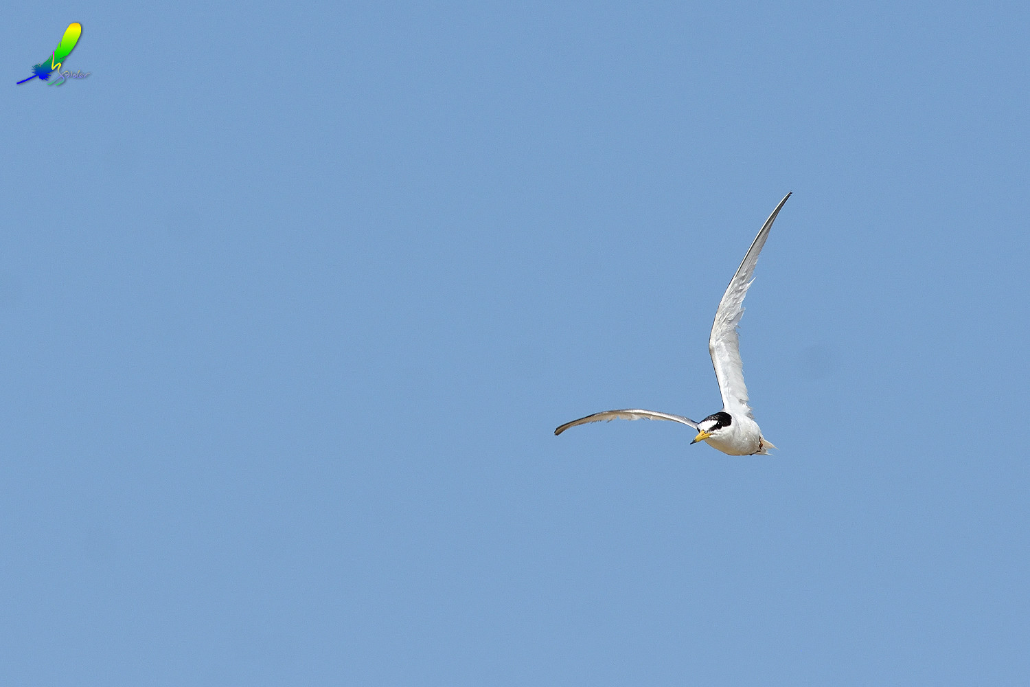 Little_Tern_9503