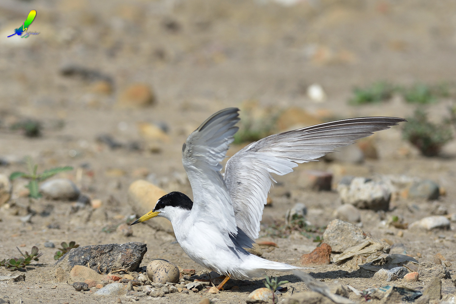 Little_Tern_9471