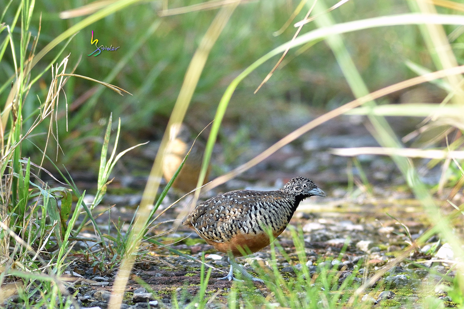 Barred_Buttonquail_0888