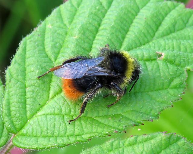 Large Red-tailed Bumblebee - Bombus lapidarius