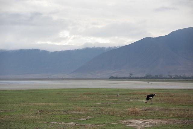 Wild Ostrich - Ngorongoro Crater
