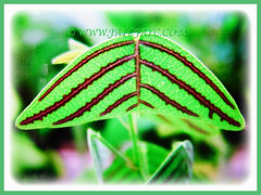 Marvellous variegated leaves of Christia obcordata (Swallowtail Plant, Butterfly Leaf, Butterfly Wing/Plant, Butterfly Leaf 'Stripe'), 21 July 2017
