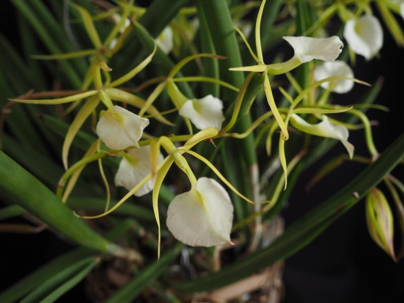 Les orchidées de Cloo, saison 2017 35711200242_c72235a834_o
