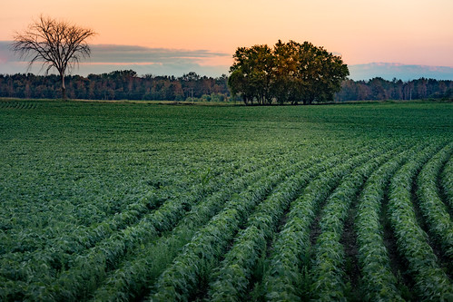 canoneos5dmarkiv field rows soybeans campo sunset evening july summer verano trees cielo clouds nubes mi midmichigan midland inrows