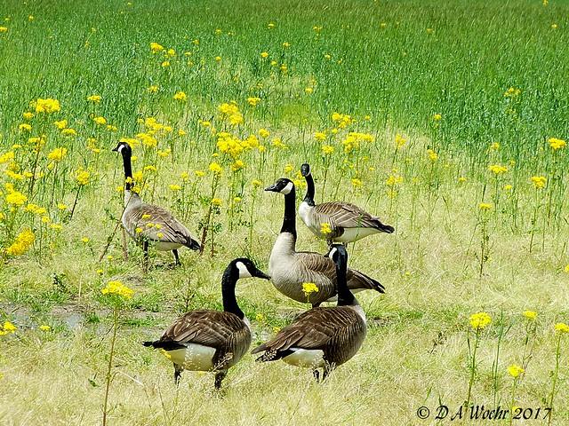 Canada Geese, Fujifilm FinePix S5200