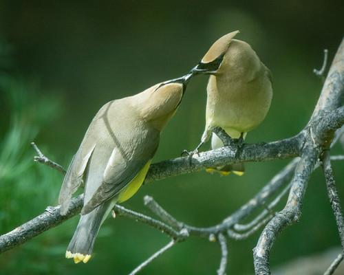 Cedar Waxwing parent feeding juvenile