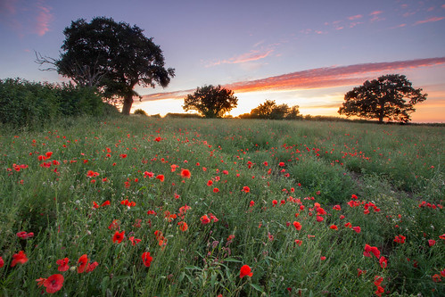 shepshed lane loughborough leicestershire england east midlands uk europe poppies poppy sunset sundown dusk twilight flora country countryside red field sky tree trees rural blue hour canon dslr 600 julian barker tickow