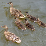 Duck family on the canal at Preston
